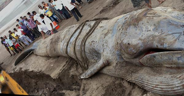 How did the blue whale in Alibag die? And why were people standing on top of it?