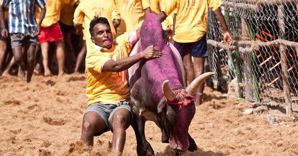 Jayalalithaa and BJP want to sacrifice bulls to gain votes in the 2016 elections
