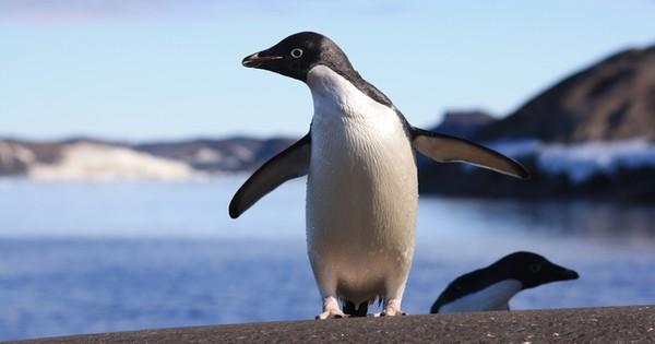 1,50,000 penguins die after massive iceberg makes them landlocked