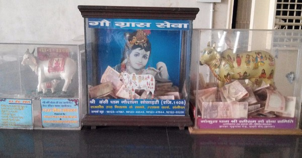 The cow's piggy banks: A cash collection racket in the name of cow protection in Haryana