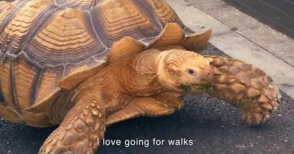 Video: Meet Bon-chan, the cabbage-loving 20-year-old, talking tortoise who loves going for walks