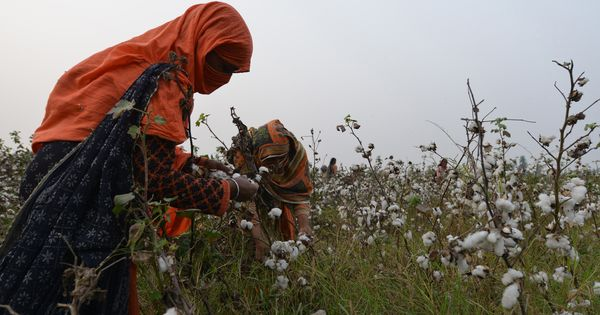 Climate change is playing havoc with cotton production in Pakistan and affecting its economy