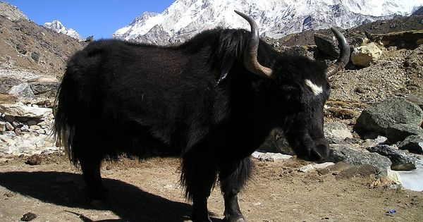 The three factors that are threatening yaks in the Himalayas