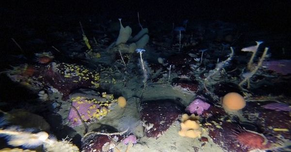 Robot camera finds colourful creatures under Antarctic sea ice