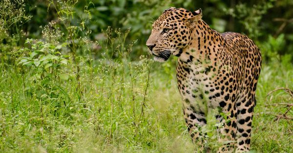 An Uttarakhand ban on killing man-eaters will only intensify man-animal conflict