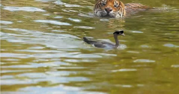 Watch: 'World's bravest (or craziest)' duck swims rings around frustrated tiger