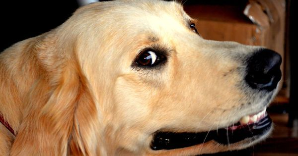 Dogs lie to get their way, finds new study