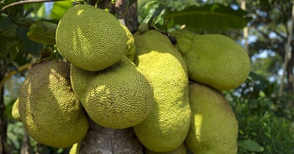 The humble jackfruit, once the most wasted fruit, enjoys a second spring in Kerala