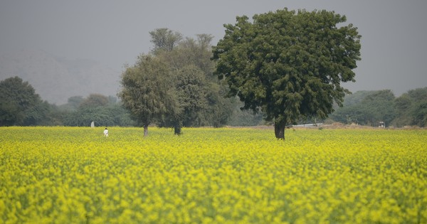 GM mustard a step closer to being India's first genetically modified food crop
