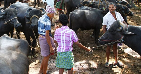 Ban on cattle sale for slaughter threatens Kerala's meat industry but state remains defiant