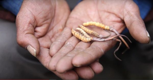Watch: Nepali and Indian villages are caught in a tussle over caterpillar fungus
