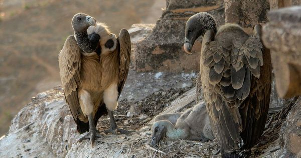 Telangana has a restaurant for vultures and it might bring the species back from extinction