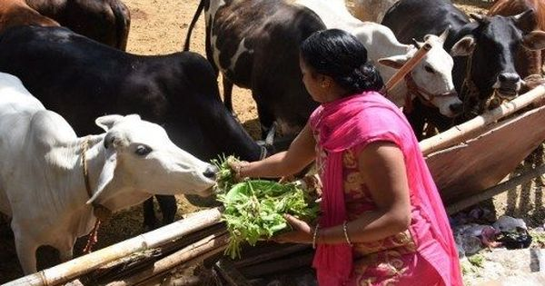 IIT Delhi gets 50 proposals to research benefits of cow urine, dung and milk