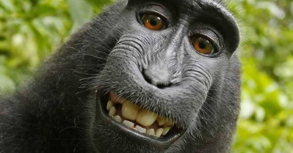 Monkey selfie case finally settled – but there are many similar animal rights battles to come