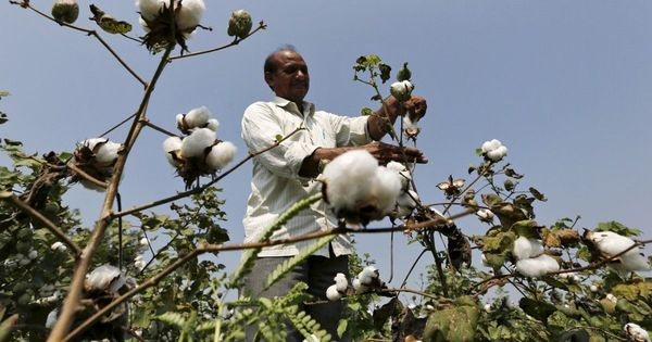 Monsanto settles GM cotton dispute with three Indian seed firms: Reuters