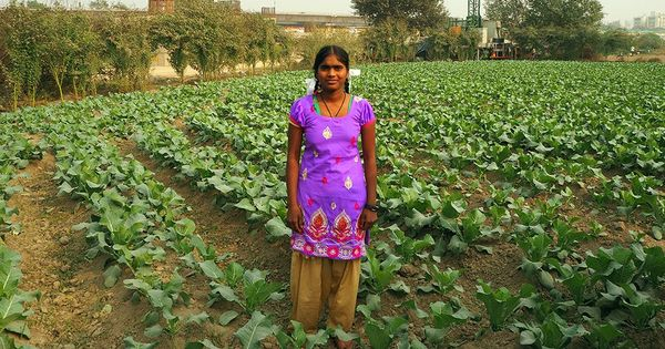 'Farming is a waste of labour': In Delhi's foul air, crops wilt and turn black
