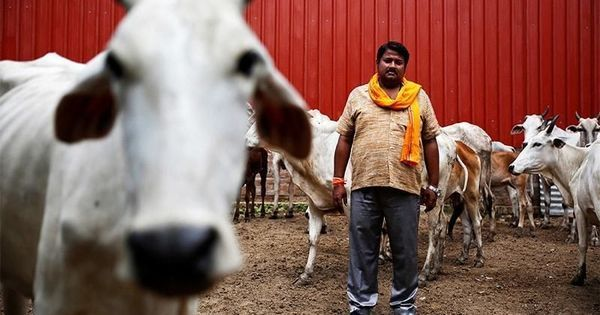 Video: How cow breeders in some parts of India are living in fear of gau rakshaks