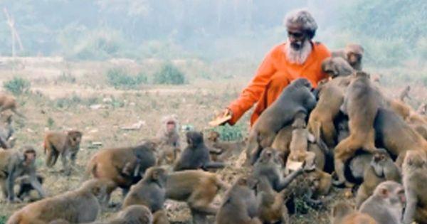 Video:  This man from Uttar Pradesh has been feeding hundreds of monkeys everyday for 40 years