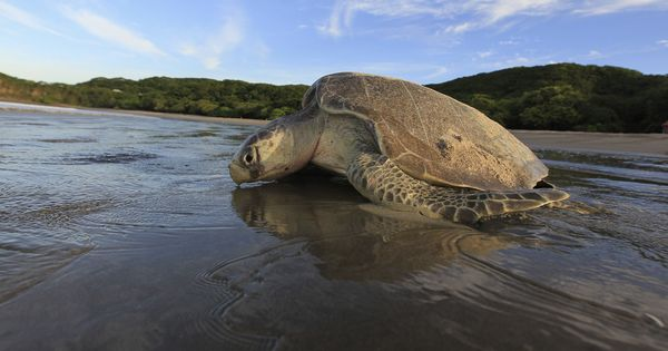 India, Pakistan and their South Asian neighbours join hands to protect endangered sea turtles