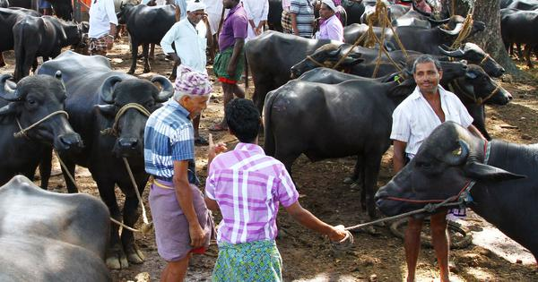 Animal Welfare Board questioned in 2016 over jurisdiction to set cattle trade rules: Indian Express