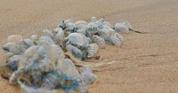 Mumbaiites warned against walking barefoot along beaches after venomous blue bottles washed ashore