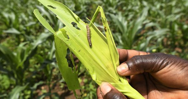 Fall Armyworm insect, recently detected in India, can threaten food security, warns UN agency