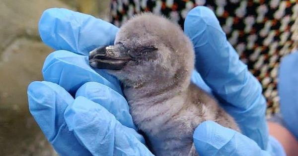 Mumbai: On Independence Day, Byculla Zoo welcomes the country's first Humboldt Penguin chick