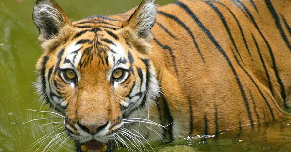A study says there are more sub-types of tigers than thought. Here's what it means for conservation