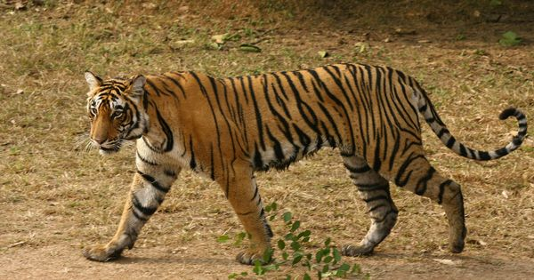 With almost 3,000 tigers, Modi claims India has achieved target of doubling population 4 years early