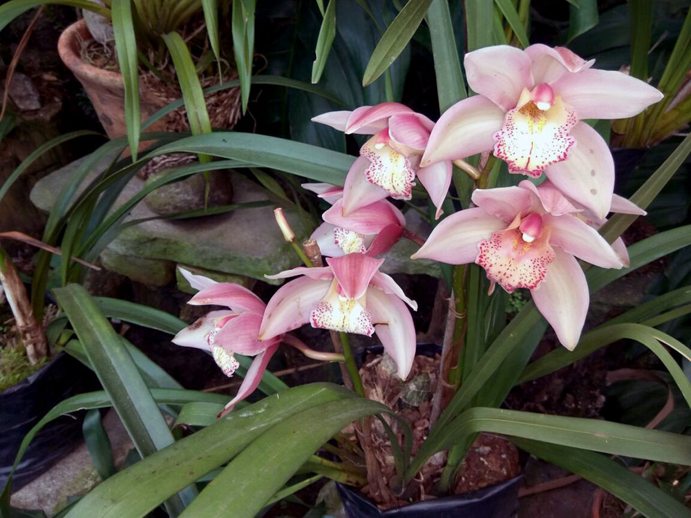 Orchids Why Is India Unmoved By The Stunning Flowers That Inspired Even Nabokov And Cartier