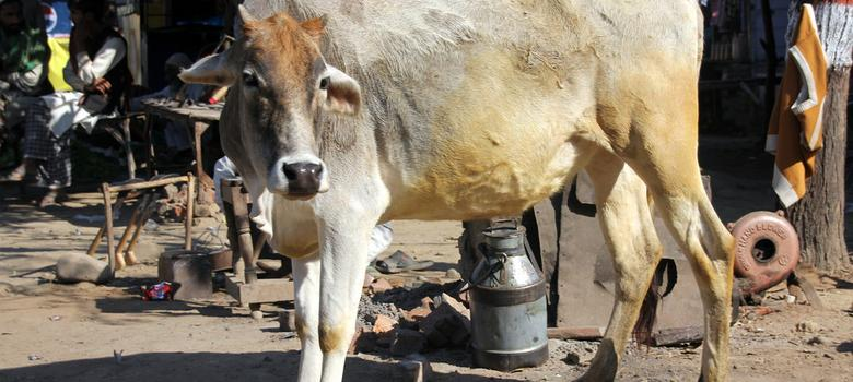 Cows are dying mysteriously in India and a vaccine might be to blame