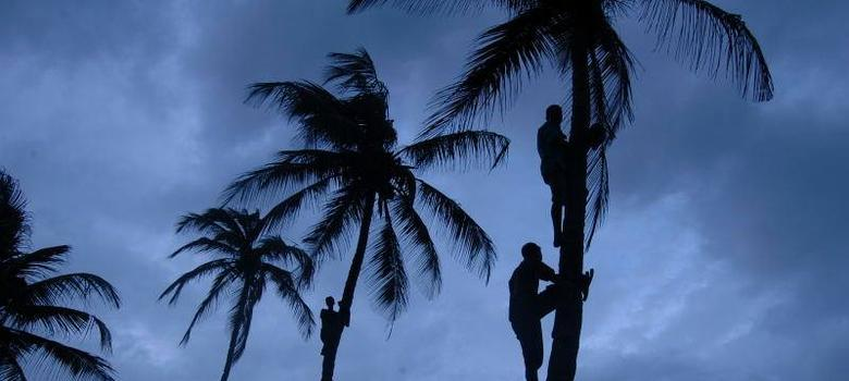 Goa rules that a coconut tree isn't really a tree – and a liquor firm reaps the benefits