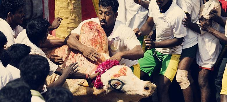 Protests across Tamil Nadu against jallikattu ban on Pongal