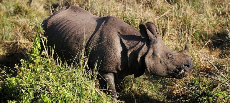 Three rhinos poached in Kaziranga National Park this month