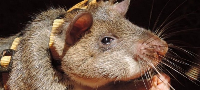 Rats can smell tuberculosis, dogs can smell cancer – they're being trained to save your life