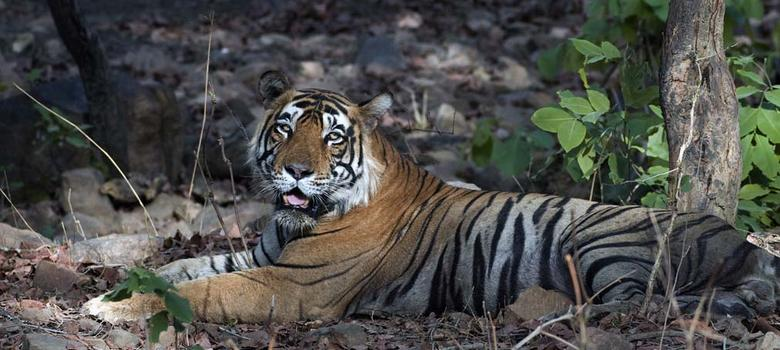 Orang becomes Assam's newest tiger reserve, but can the poachers be kept at bay?
