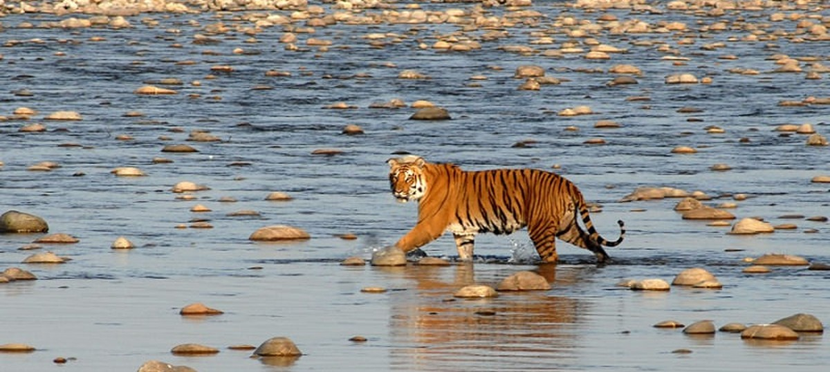 India has to choose between saving its tigers or becoming one of the largest diamond producers