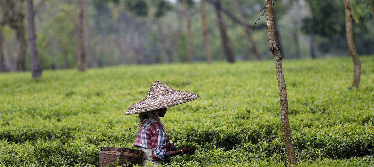 Assam's tea gardens shape up to become second home to wild animals