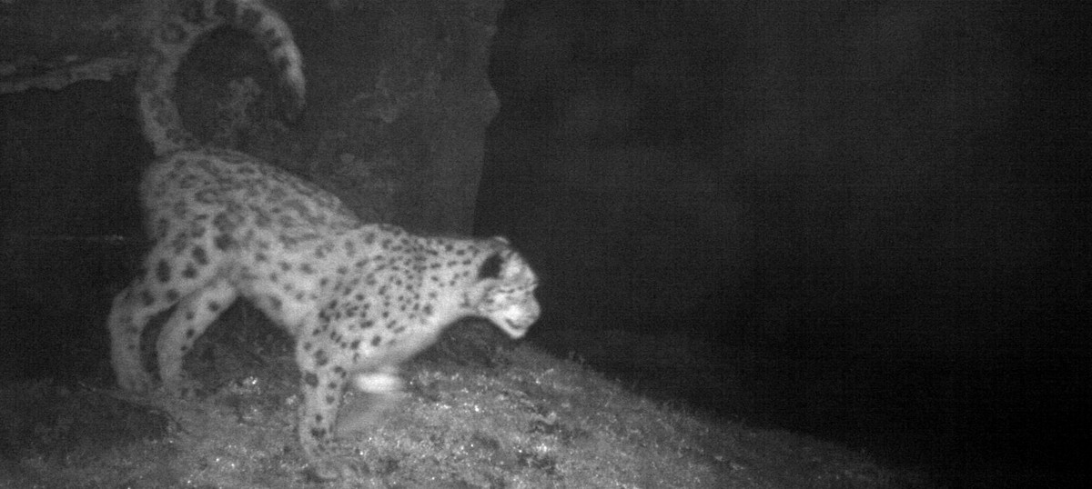 Elusive snow leopard photographed in Sikkim