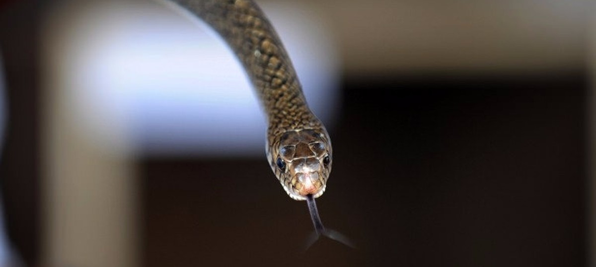 Podcast: Snakebite kills 45,000 Indians every year, but we're still not doing much about it