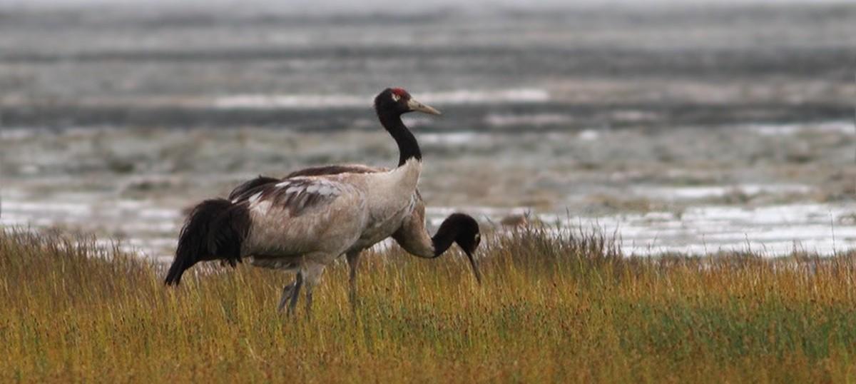 Arunachal hydropower project halted to save black-necked cranes