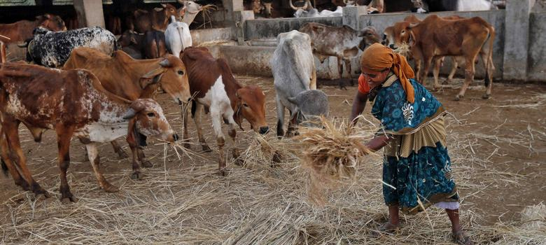 In Rajasthan textbook, cow writes letter stating benefits of considering it a mother: TOI