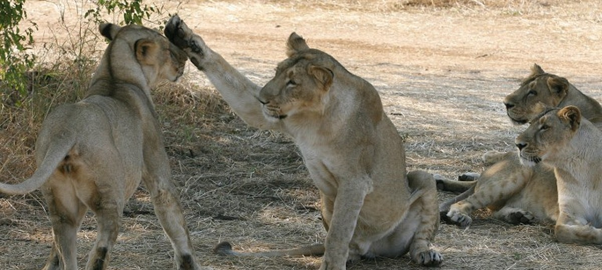 After spate of attacks, concerns grow over Gir's lions prowling outside their natural habitat