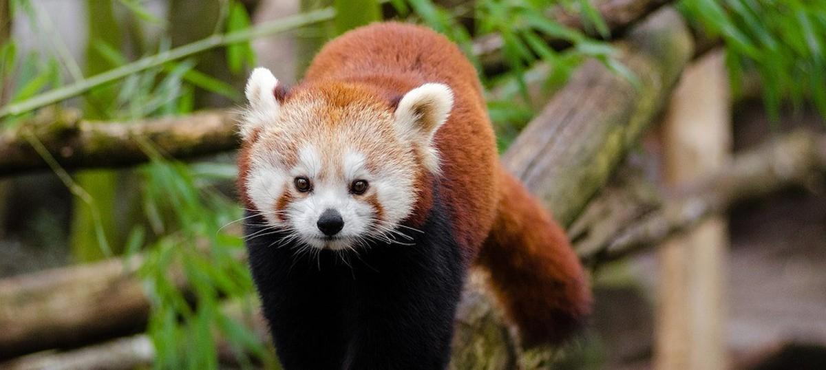 Two hamlets in Arunachal Pradesh take giant strides towards saving the red panda