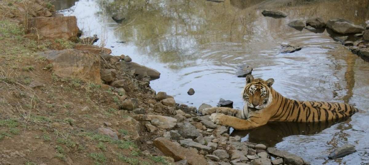 The life and times of Machli, Ranthambore's most famous tigress