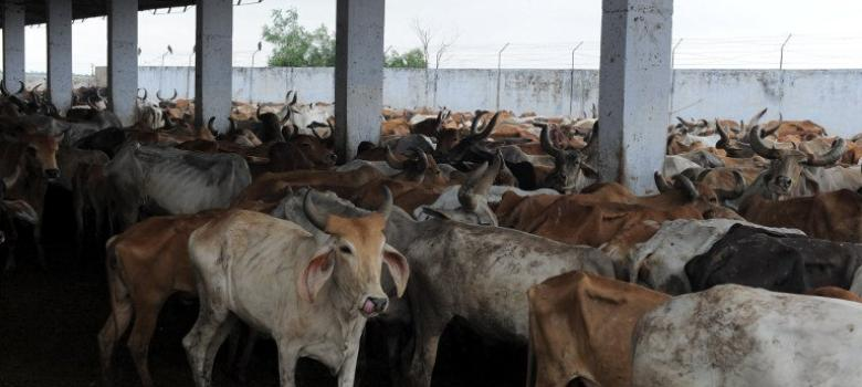 Haryana gets a 24-hour helpline for reporting cow-related offences: The Indian Express