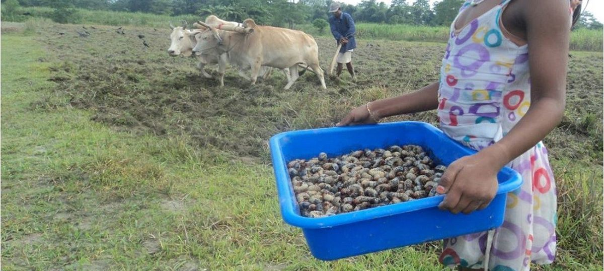 How researchers in Assam developed a cuisine around beetles to stop them from damaging crops