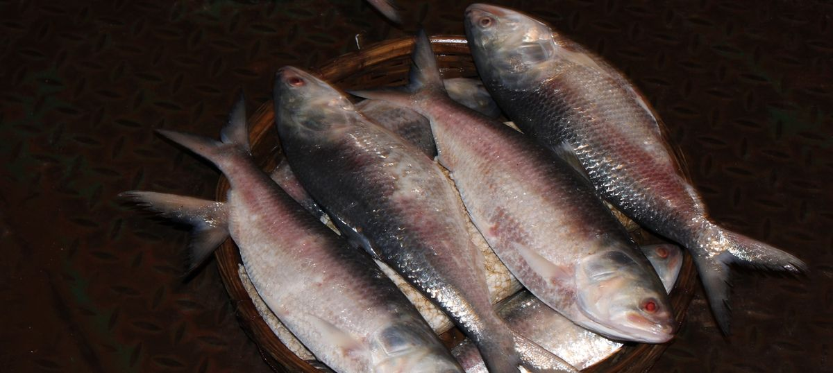 Poverty is endangering the prized hilsa fish in Bangladesh