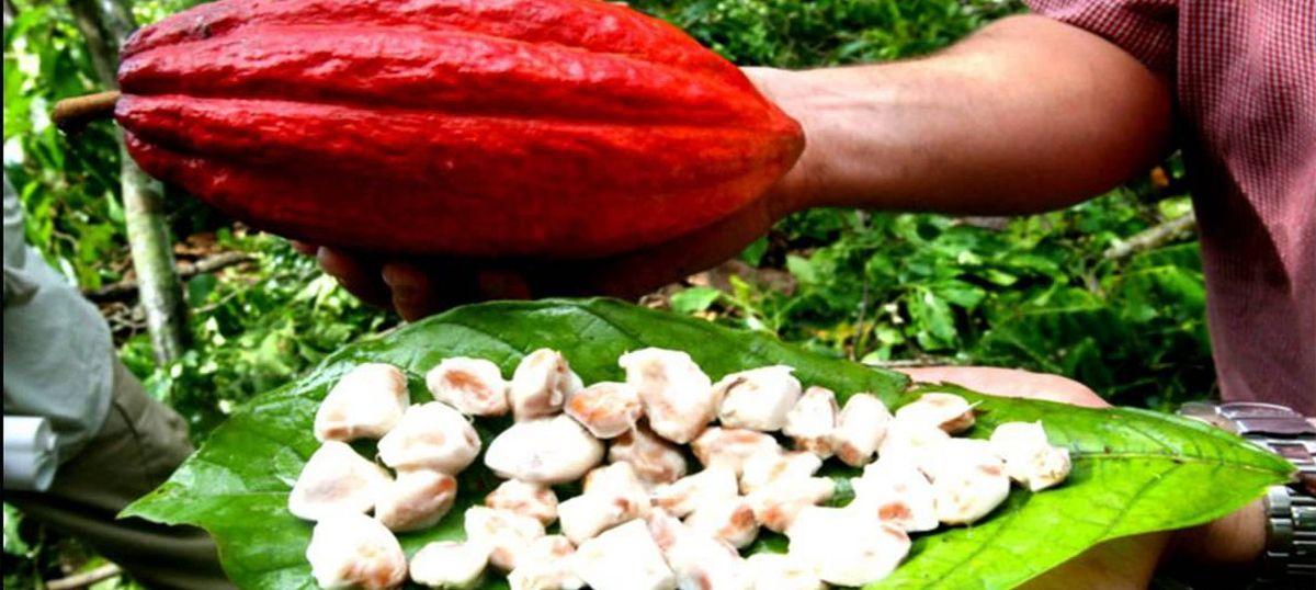 Can upscale chocolate turn the tide on Haiti's devastating deforestation?