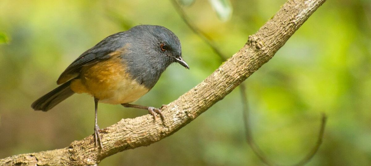 In the Western Ghats, the songs of this bird species differ from one mountaintop to the other